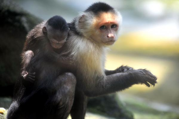Capuchin monkeys at the zoo in Cali, Colombia.
