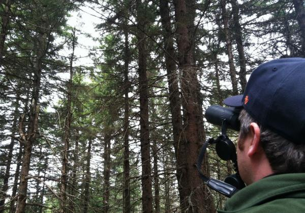 "Josh Halman surveys red spruce for signs of ""winter injury"" or dead needles and buds caused by cold temperatures hitting needles weakened by acid rain. (Sam Evans-Brown/NHPR)"