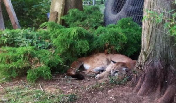 This cougar was captured after several sightings in a Northeast Portland neighborhood. It was eventually euthanized.