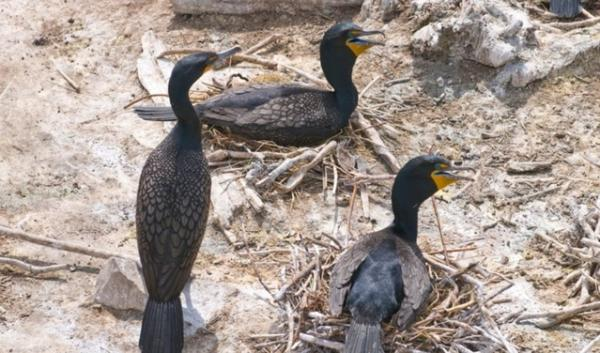 Three cormorants on East Sand Island
