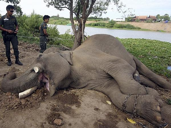 A photo released by the Ayutthaya Elephant Palace and Royal Kraal, shows Thai police officers examining the slain elephant.