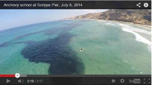 A massive school of anchovies off La Jolla, filmed on Tuesday.