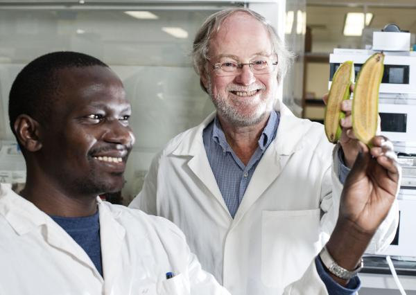 Ugandan researcher Stephen Buah and Professor James Dale hold bananas bred to be rich in vitamin A at Queensland University of Technology (Erika Fish/Courtesy of Queensland University of Technology)