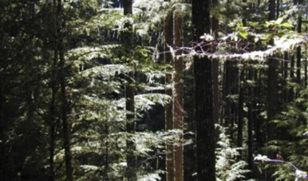 The Elliott State Forest contains old-growth forest that conservation groups say shouldn't be sold to private owners.