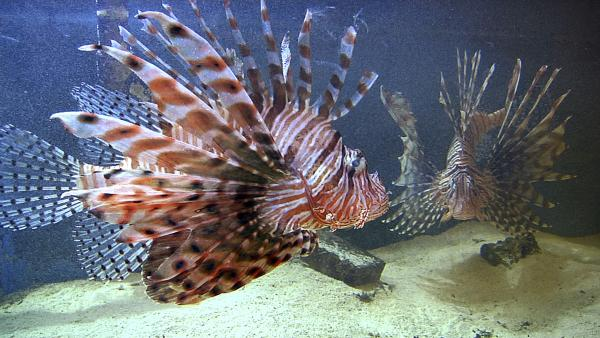 Two lionfish swim in an aquarium at the Nova Southeastern University Oceanographic Center in Dania Beach, Fla.