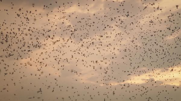 Dense flocks of martins like this filled the skies above Lake Murray, S.C., for more than two decades. This year, their traditional roost site is empty.