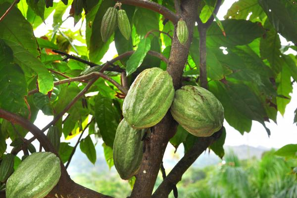 Maman Pye cacao<em>, </em>a Haitian supertree, can produce 20 times as many cacao pods as ordinary trees, and the pods themselves are denser with cacao seeds than ordinary pods.