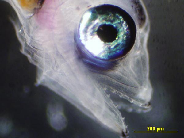 A 12-day-old larvae that has developed teeth.
