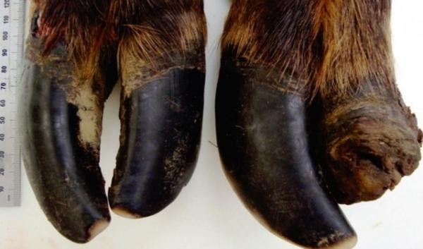 Hoof deformities have been found in about half the elk herds in Southwest Washington