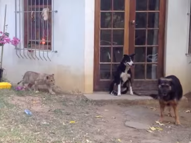 Screen shot of a lion cub stalking a dog.