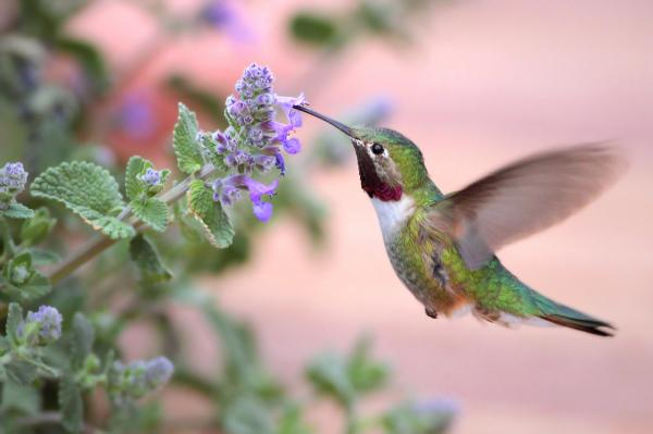 A black-chinned hummingbird is pictured in the early morning at the Audubon Center in Santa Fe, N.M. (Pat Gaines/Flickr)