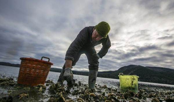 Mark Wiegardt's family has farmed oysters for more than a hundred years. He works with his wife, Sue Cudd, owner of Whiskey Creek Shellfish Hatchery, to supply oyster larvae to farms all over the region.