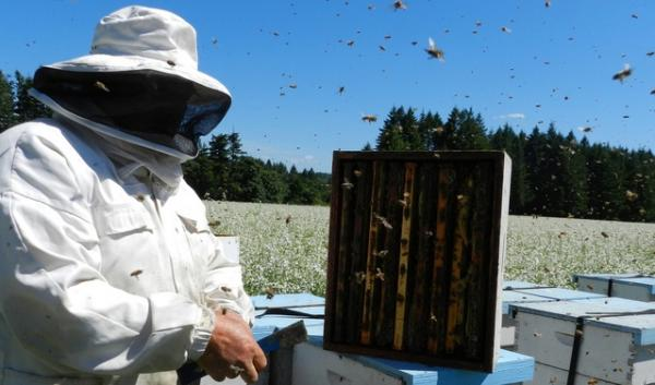 Commercial honeybees face many hazards while pollinating crops. Experts say it's a combination of stressors that are causing colony declines across the country.