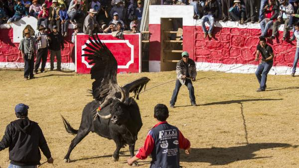 Villagers try to lasso the bull as it fights the condor in Coyllurqui, Peru, last month.
