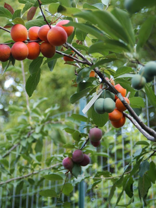 Some younger fruit trees in Sam Van Aken's nursery bearing fruit.