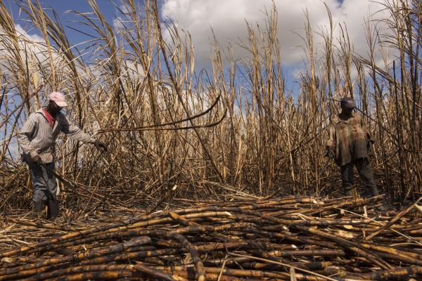 Luis Jacque and Nene Benua of Batey Bembe work side by side in the cane fields near Conseulo. Both arrived in the Dominican Republic from Haiti as teenagers, and have cut cane for the past three decades.