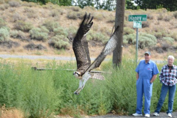 Rehabbed osprey flies away after its release Wednesday in Finley, Washington.