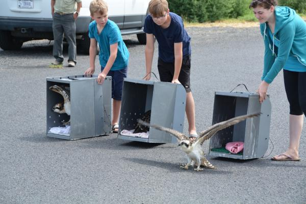 Brothers Gabriel and Luke Berglin and Blue Mountain Wildlife intern Emily Fitch release three fledged osprey chicks on Wednesday after successful rehabilitation following two separate rescues.
