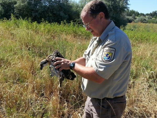 Dan Haas of the U.S. Fish and Wildlife Service carries a rescued osprey chick that apparently was knocked out of its nest as its parent struggled with fishing netting tangled on its foot.