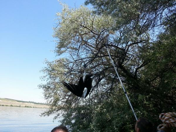 This is the initial osprey rescue near the confluence of the Snake and Columbia Rivers.