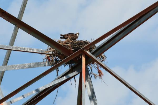 One tangled osprey was rescued from this nest on a BPA transmission tower in Finley, Washington. Note the orange polypro twine still festooning the nest.