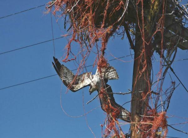 This is how ospreys' unhealthy affinity for baling twine can kill. Idaho Fish and Game biologist Beth Waterbury rescued this osprey in the nick of time. (Beth Waterbury/Idaho Fish and Game)