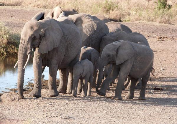 A new study finds more African elephants are being killed each year than are being born. Pictured are elephants in Serengeti National Park in Tanzania, July 2014. (Karyn Miller-Medzon)