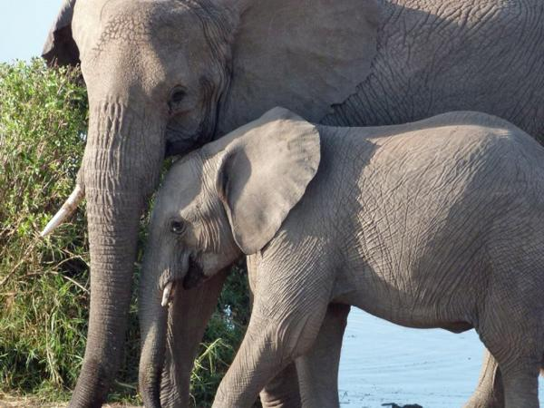 Elephants are pictured in Serengeti National Park in Tanzania, July 2014. (Karyn Miller-Medzon)