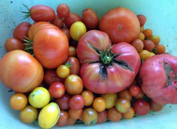 The tomato bounty from Here & Now resident chef Kathy Gunst's garden in Maine. (Kathy Gunst/Here & Now)
