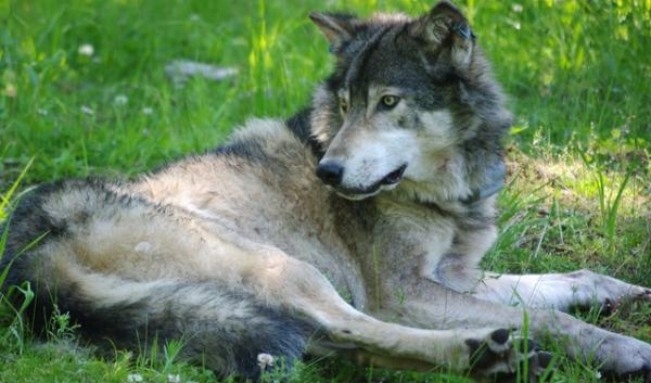 Washington wildlife officials have authorized killing wolves from a pack outside of Spokane if they go after sheep from a herd that the Huckleberry Pack has attacked recently.