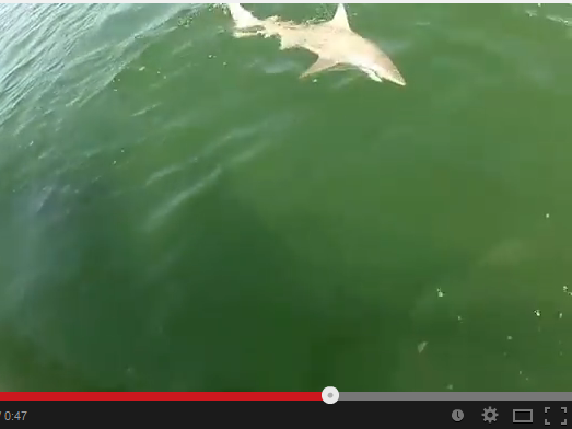 A black tip shark, caught on a fishing line, circles a boat just before it's devoured by a Goliath grouper.