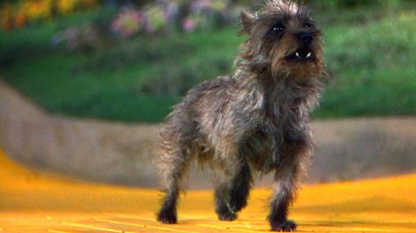 Terry the terrier earned $125 a week on the set of <em>The Wizard of Oz</em>, more than many of the human actors in the film.
