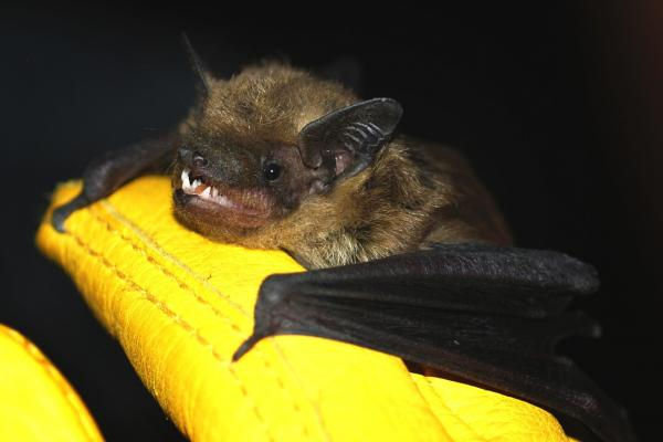 "Big brown bats like this one are relatively common in urban areas, sometimes roosting in buildings. Contrary to popular belief, bats rarely carry rabies and are not rodents. They belong to the order <em>Chiroptera</em>, which means ""hand-wing."""