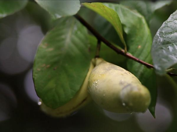 A pawpaw ripe for the picking