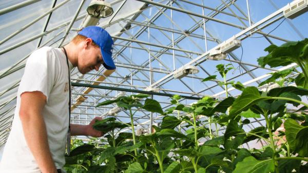 Brent Hulke, USDA's sunflower breeder, inspects his flowers in Fargo, ND.