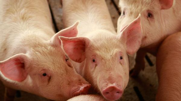 Hogs at a farm in Elma, Iowa (2009 file photo).