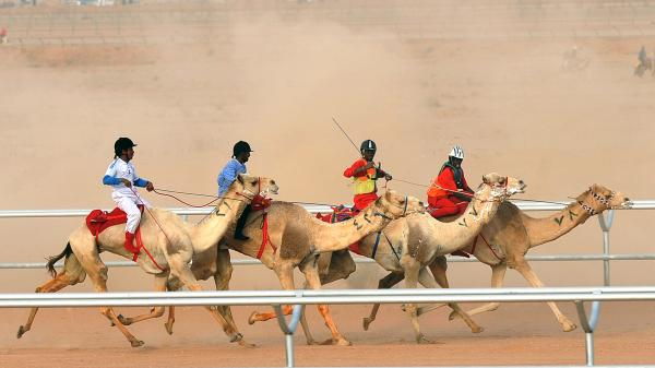 Camel jockeys compete at a festival on the outskirts of Saudi Arabia's capital Riyadh, a focal point for the Middle East respiratory syndrome virus.