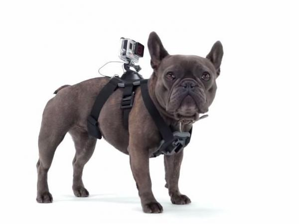 The GoPro Fetch can fit dogs as small as 15 pounds and as large as 120 pounds.