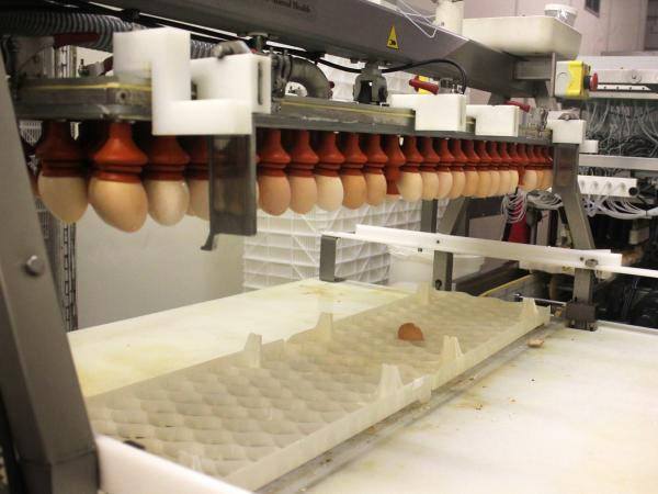 When the chicks are almost ready to hatch, they go through a vaccination robot.
