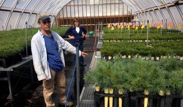 At the Dorena Genetic Resource Center, Richard Sniezko grows whitebark pine saplings, seeking out those able to resist invasive blister rust.