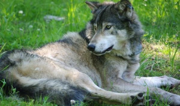 The helicopter shooting of a wolf in northeastern Washington didn't go as planned. A sharp shooter accidentally took out the livestock-killing pack's alpha female.