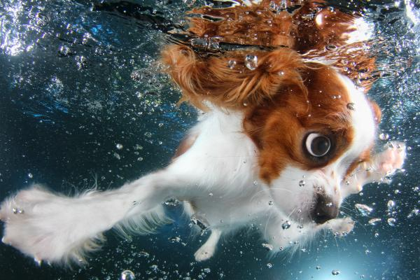 <strong>Monty:</strong> cavalier King Charles spaniel, 6 months