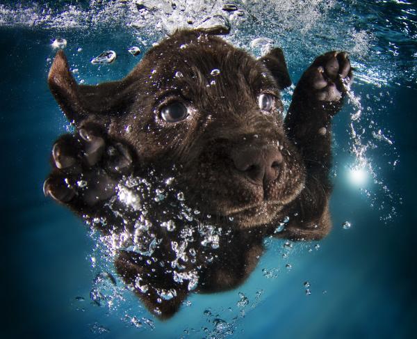 <strong>Ruger:</strong> black Labrador retriever, 7 weeks
