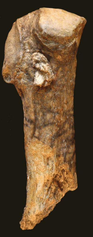 <p>A spear point is embedded near the end of this mastodon rib bone.</p>