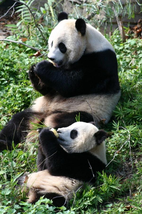 Tai Shan and his mother, Mei Xiang, enjoy frozen fruit treats at the National Zoo in 2006.