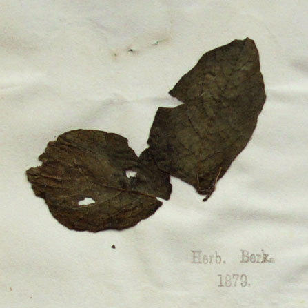 Plant pathologists sequenced the genome of 19th century potato specimens like this one from London's Kew Gardens herbarium, collected during the height of the Irish famine in 1847.