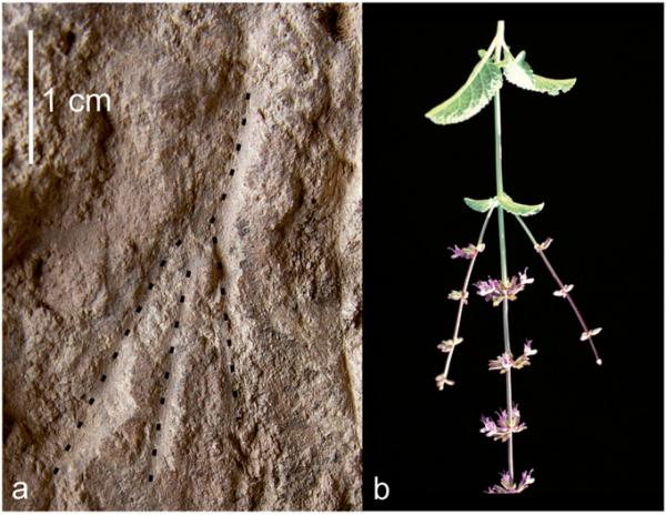 On the left, impressions of flowering stems in a grave. On the right, flowering stems of Salvia judaica, presented in the same scale and orientation as the impressions in the grave.