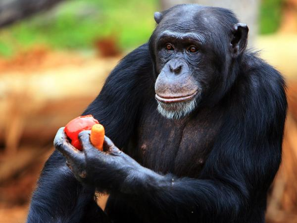 Humans and chimpanzees — like this individual at a zoo in Australia — are animals who have evolved to forge extensive and elaborate social connections.