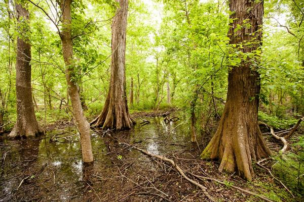 Deep into the Woodland Conserancy's forest are cypress and bottomland hardwood trees.