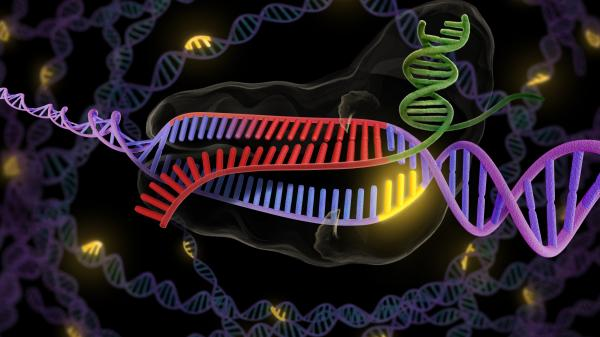 The CRISPR enzyme (green and red) binds to a stretch of double-stranded DNA (purple and red), preparing to snip out the faulty part.